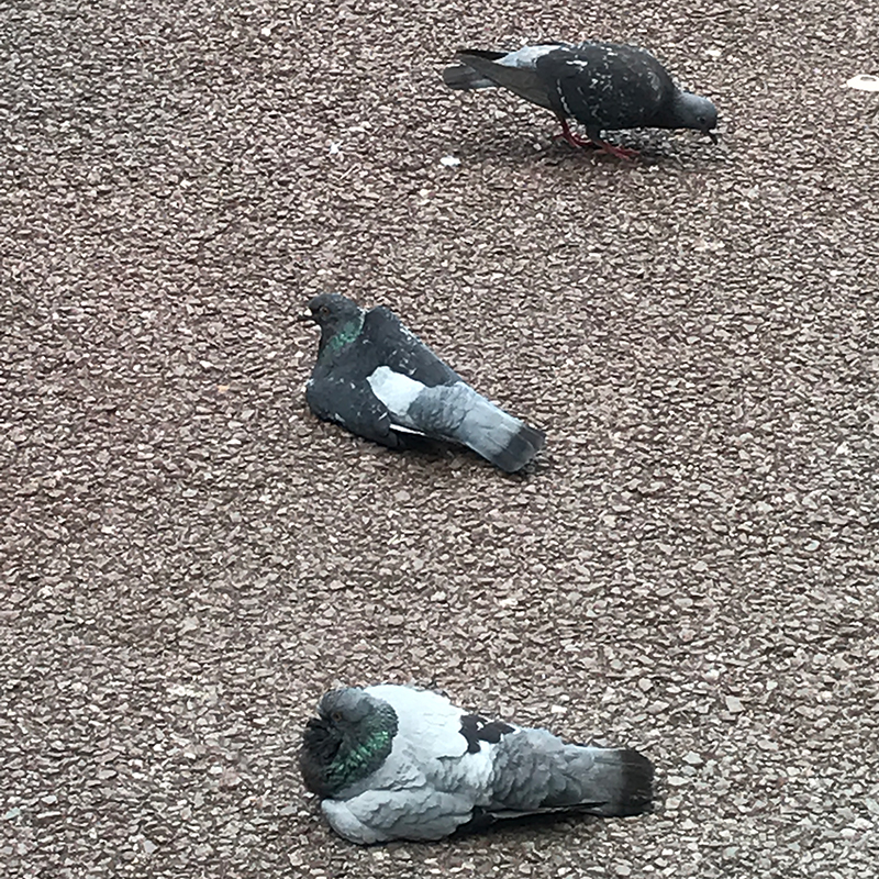 ただダラダラしている鳩